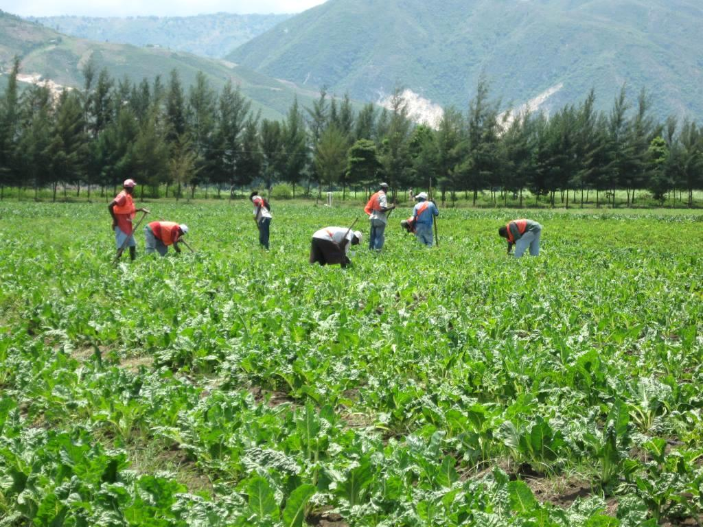 Workers Tending The Vegetable Fields