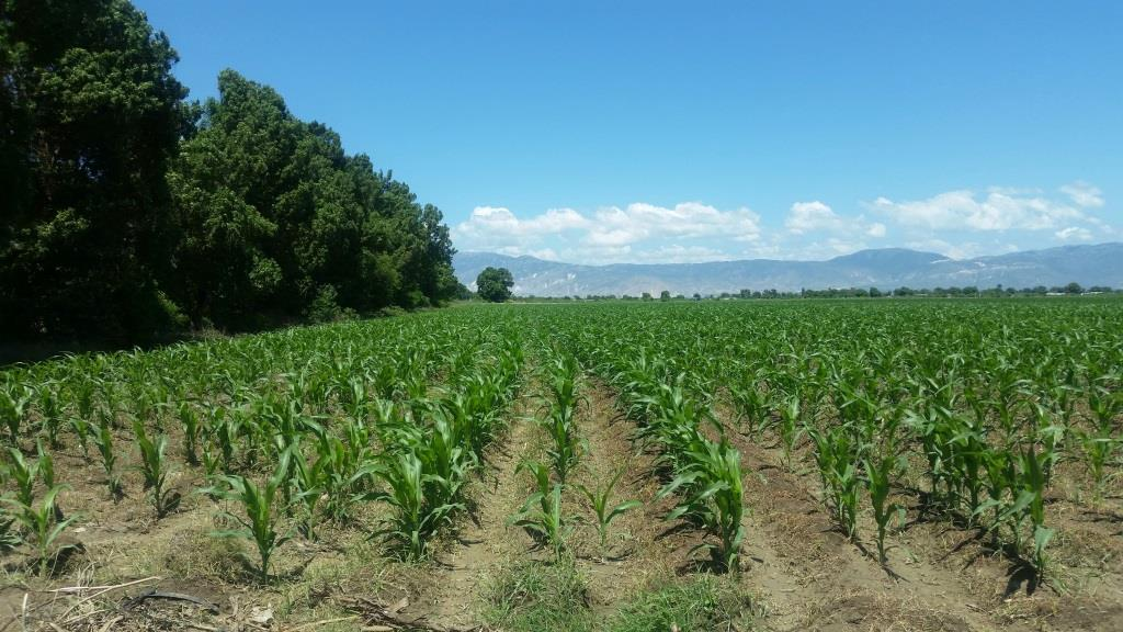 Farm - Corn Crop For Feed