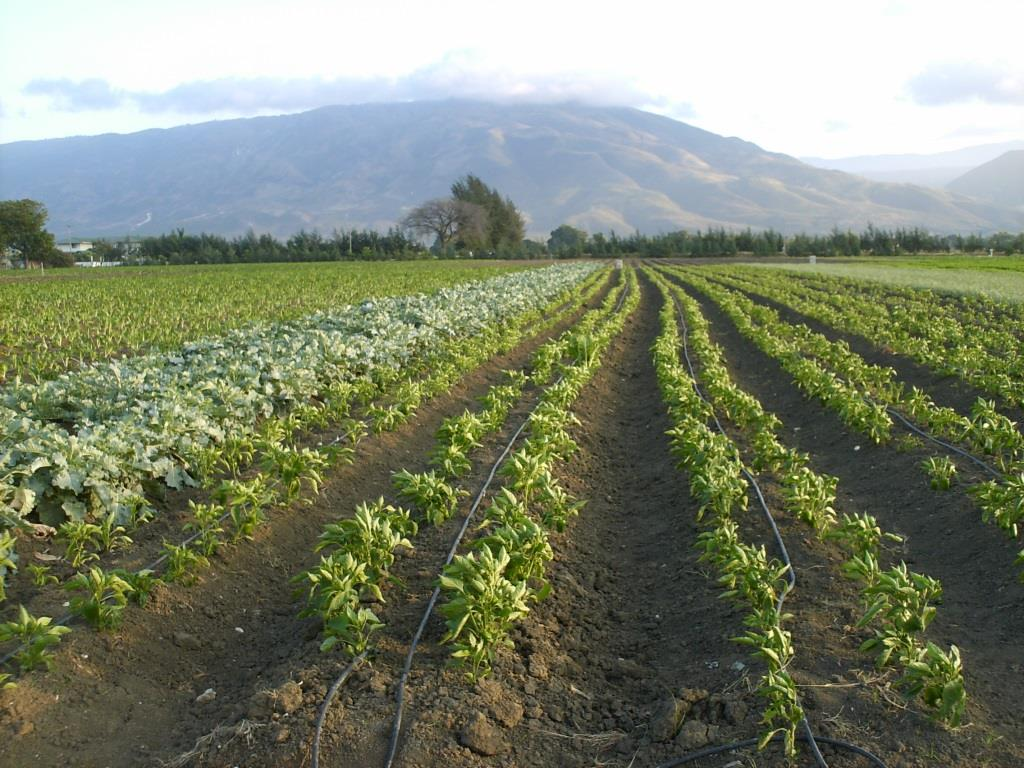 Drip-line Irrigation for Vegetables
