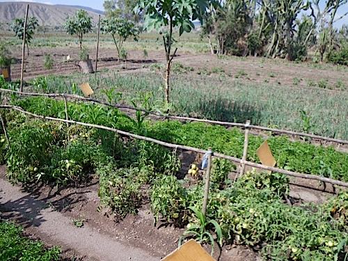 Small vegetable plot