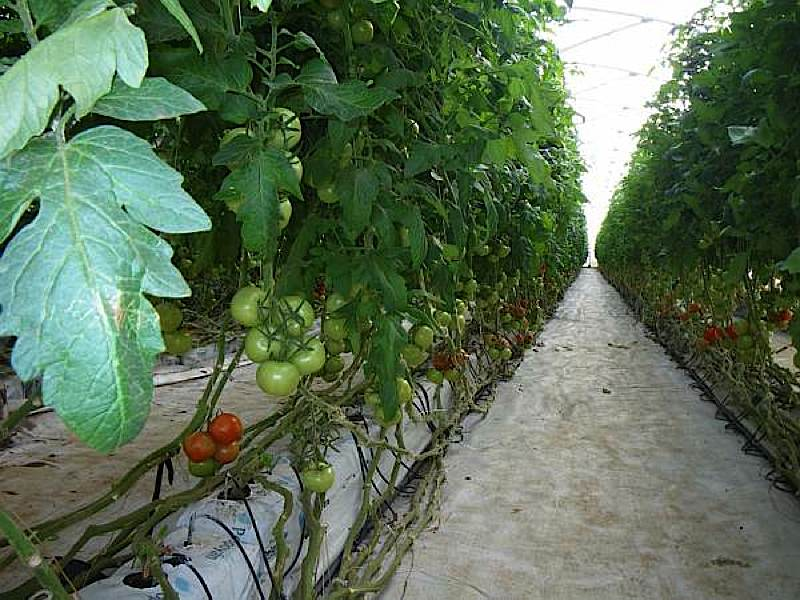 Tomatoes, as far as the eye can see