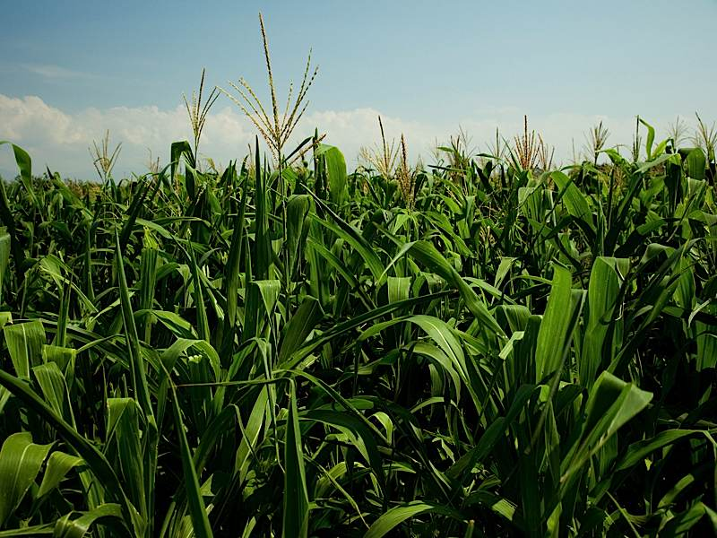 Corn, one our staple crops